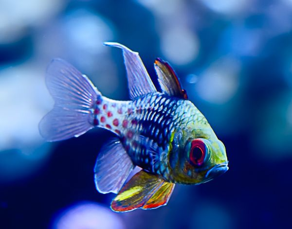 Oh Hey Pajama Cardinalfish You Are Bright And Beautiful Animals Beautiful Marine Fish