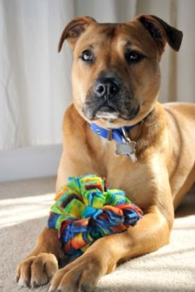 Pitbull Toys Know Which Ones Are The Absolute Best Pitbull