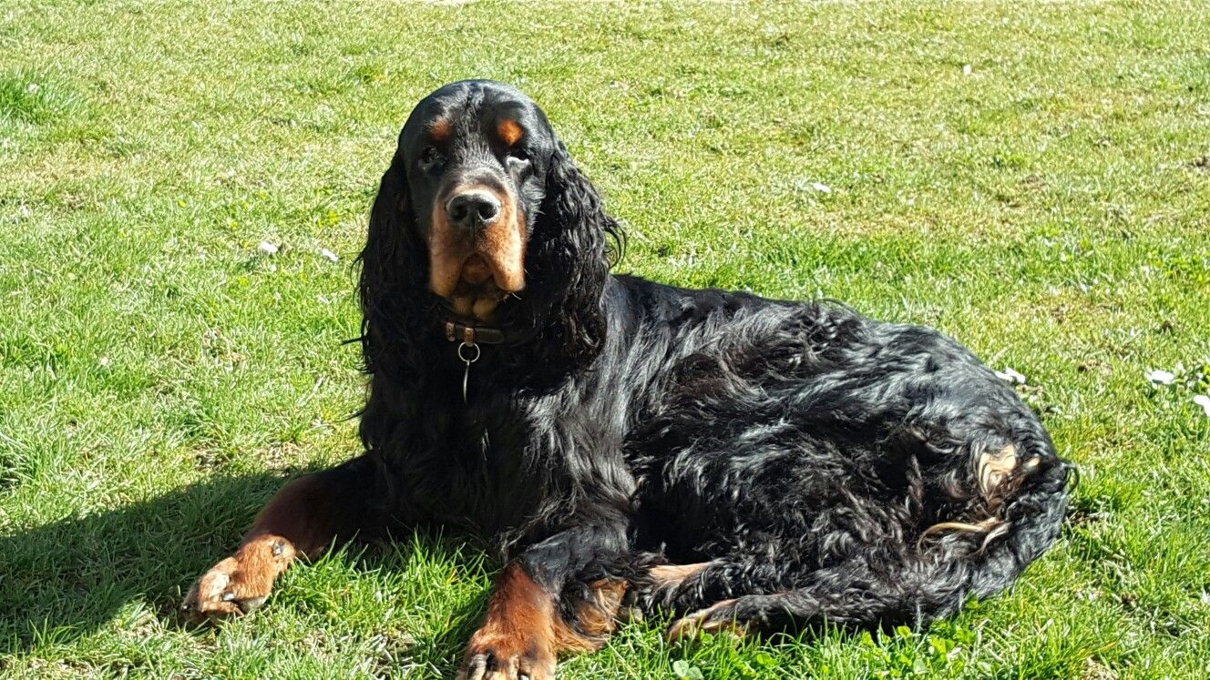Aragon Gordon Setter Dogs Animals