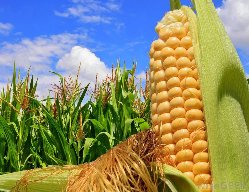Turkish buyers seek out more Russian corn on barley price surge