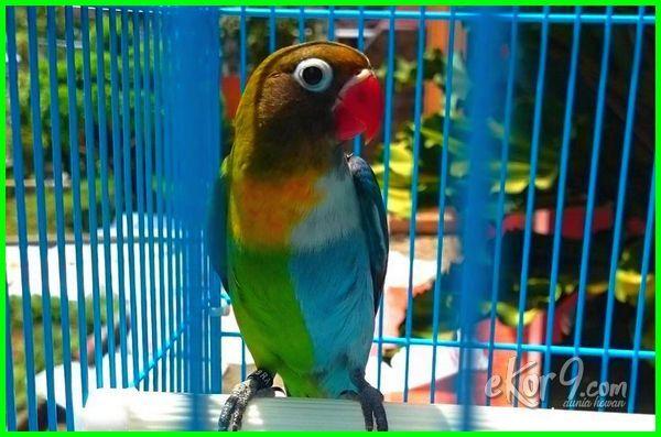 25 Jenis Lovebird Terbaik Paling Cantik Yang Bagus Untuk Kontes Ekor9 Com Burung Gambar Kartun Warna