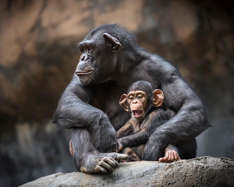 поиск картинки обезьяны и детеныша вашему вниманию