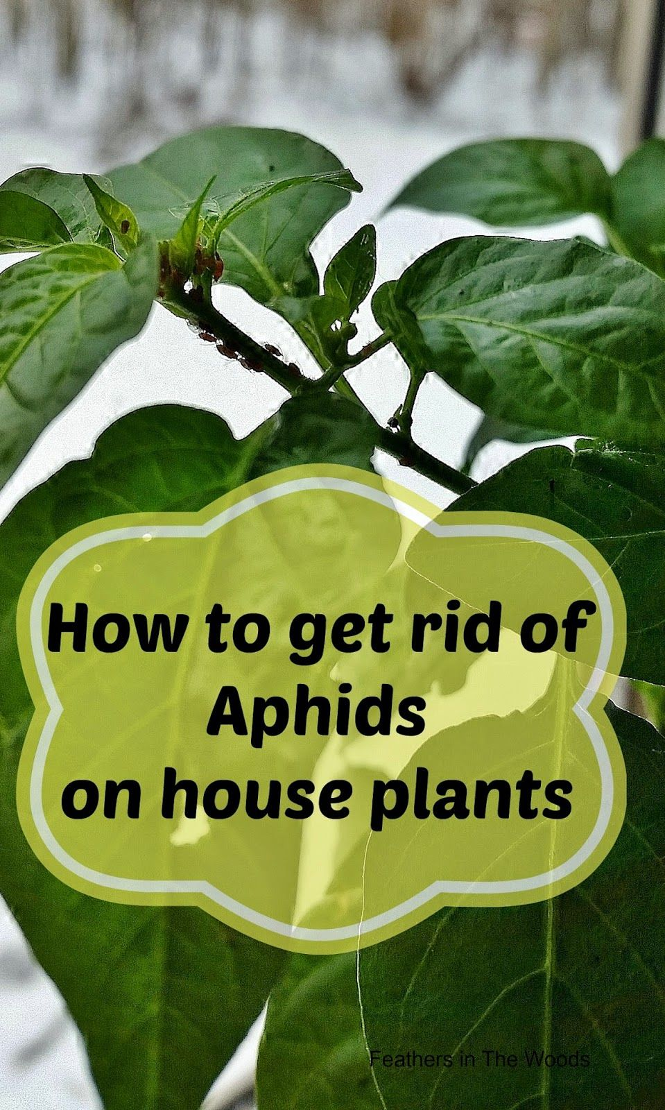 How To Get Rid Of Aphids On A Houseplant