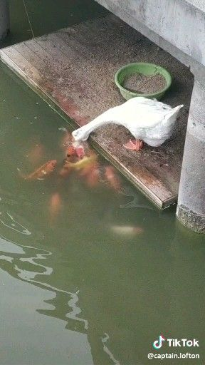 Even ducks like to feed the fish!