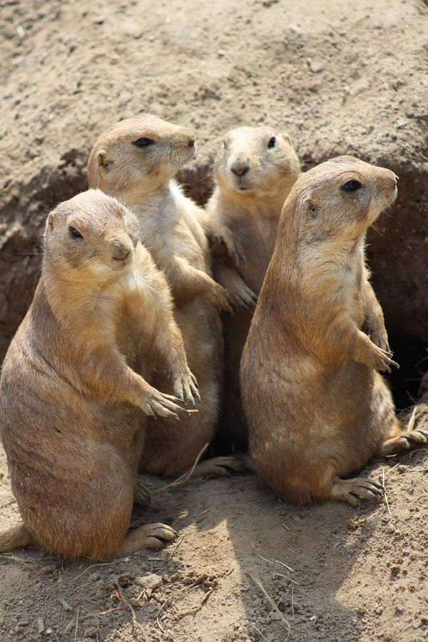 Prairie Dogs In Lubbock they have their own town.....I