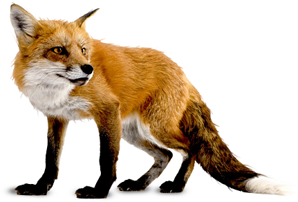 Image result for image of fox
