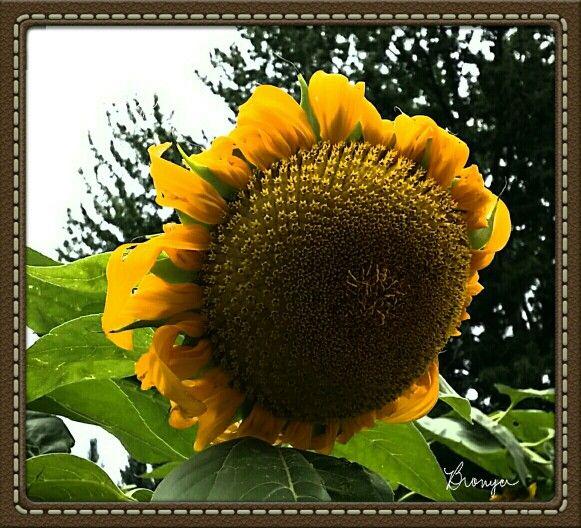 Sunflower in Loveland, CO