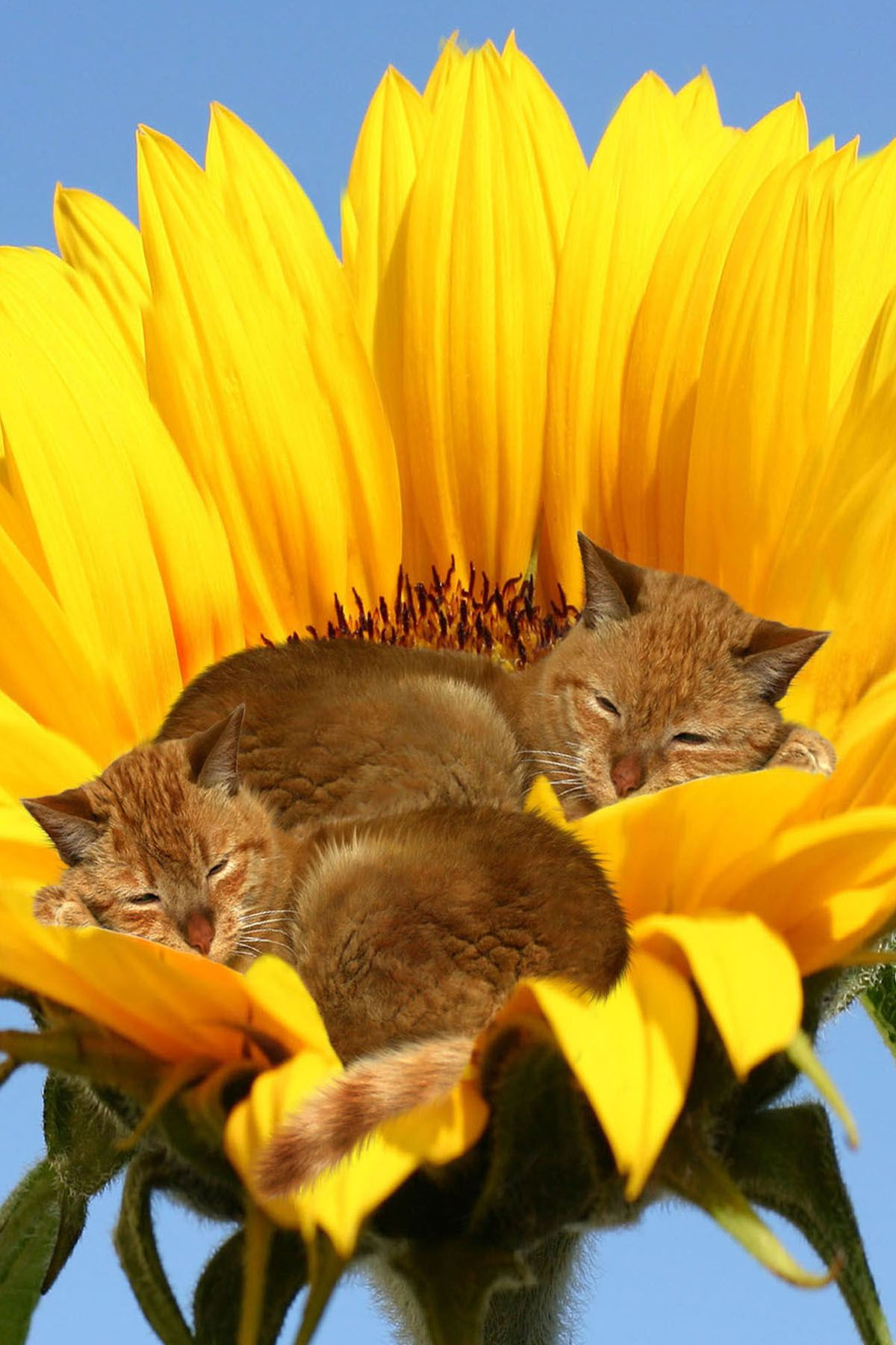 Cats in sunflower (With images) Kittens, Animals, Cats