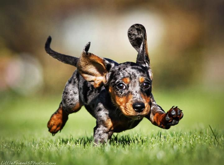 Running Dapple Puppy On Facebook Com Puppies Funny