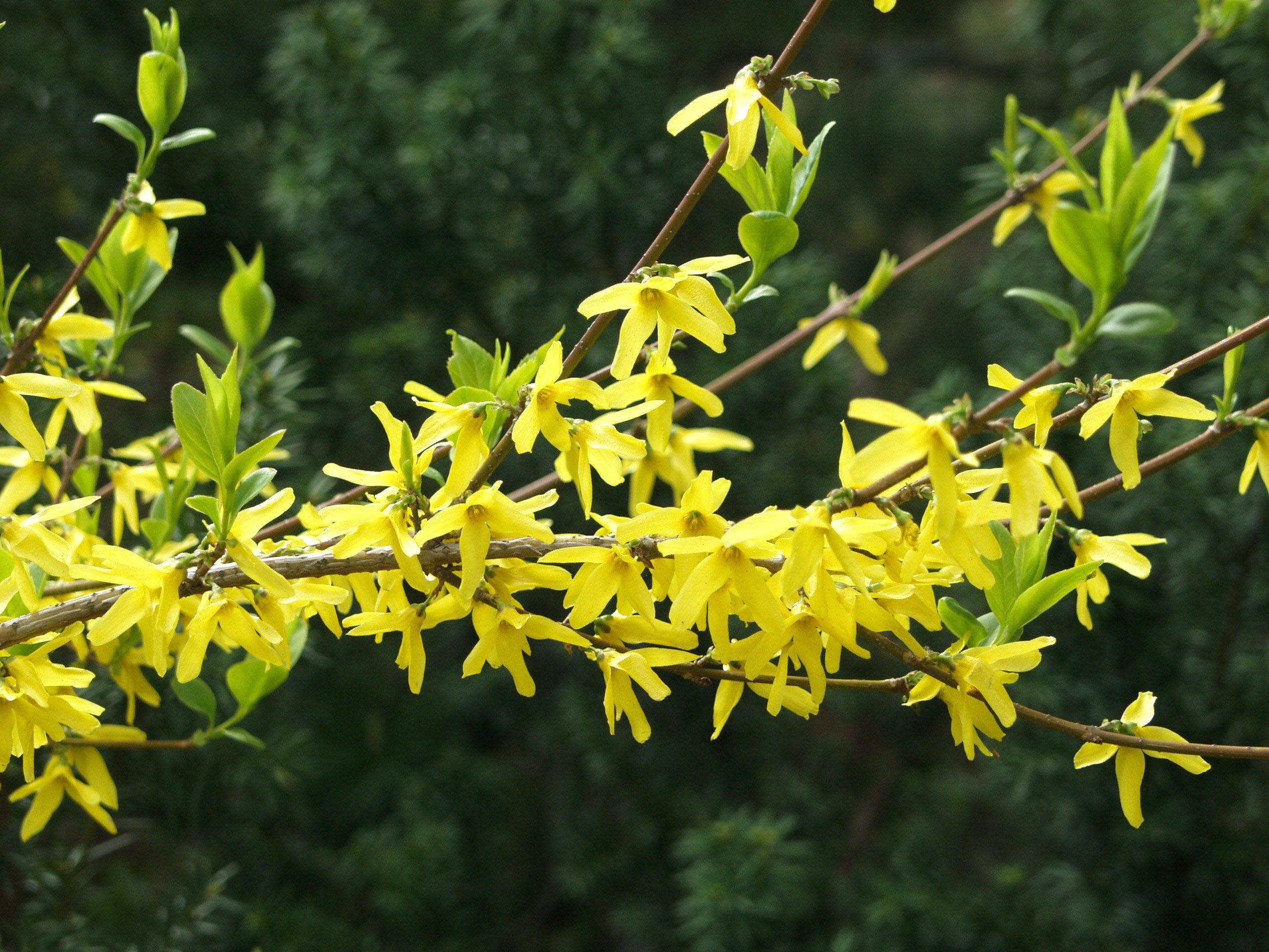 Forsythia Ovata Earliest Flowering Of The Species Bright Yellow
