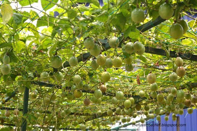 Passionfruit Trellis Roof For Privacy Vine Trellis Passion Fruit Plant Garden Vines