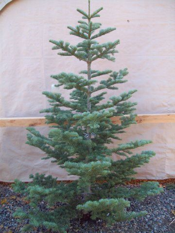 Silver Tip Spruce -- Cary really should have purchased one of these -- they  make GREAT Christmas trees! - Silver Tip Spruce -- Cary Really Should Have Purchased One Of These