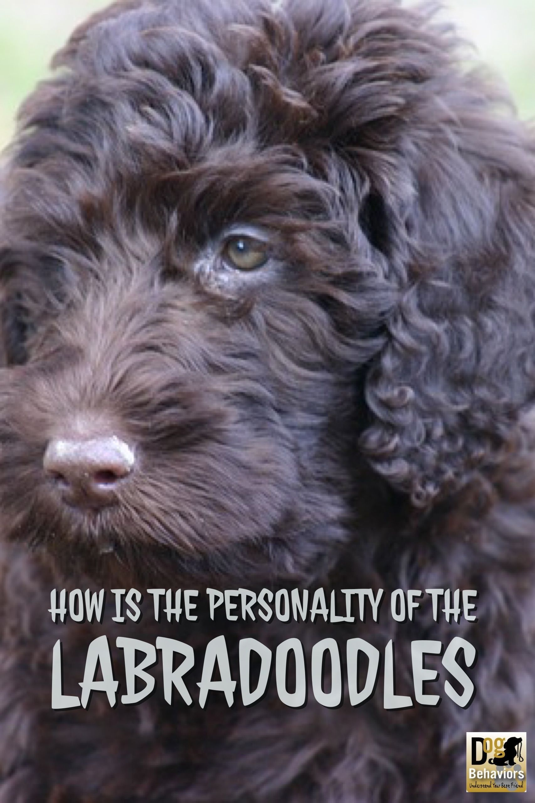 How Is The Personality And Temperament Of The Labradoodles Labradoodle Labradoodle Facts Labradoodle Temperament