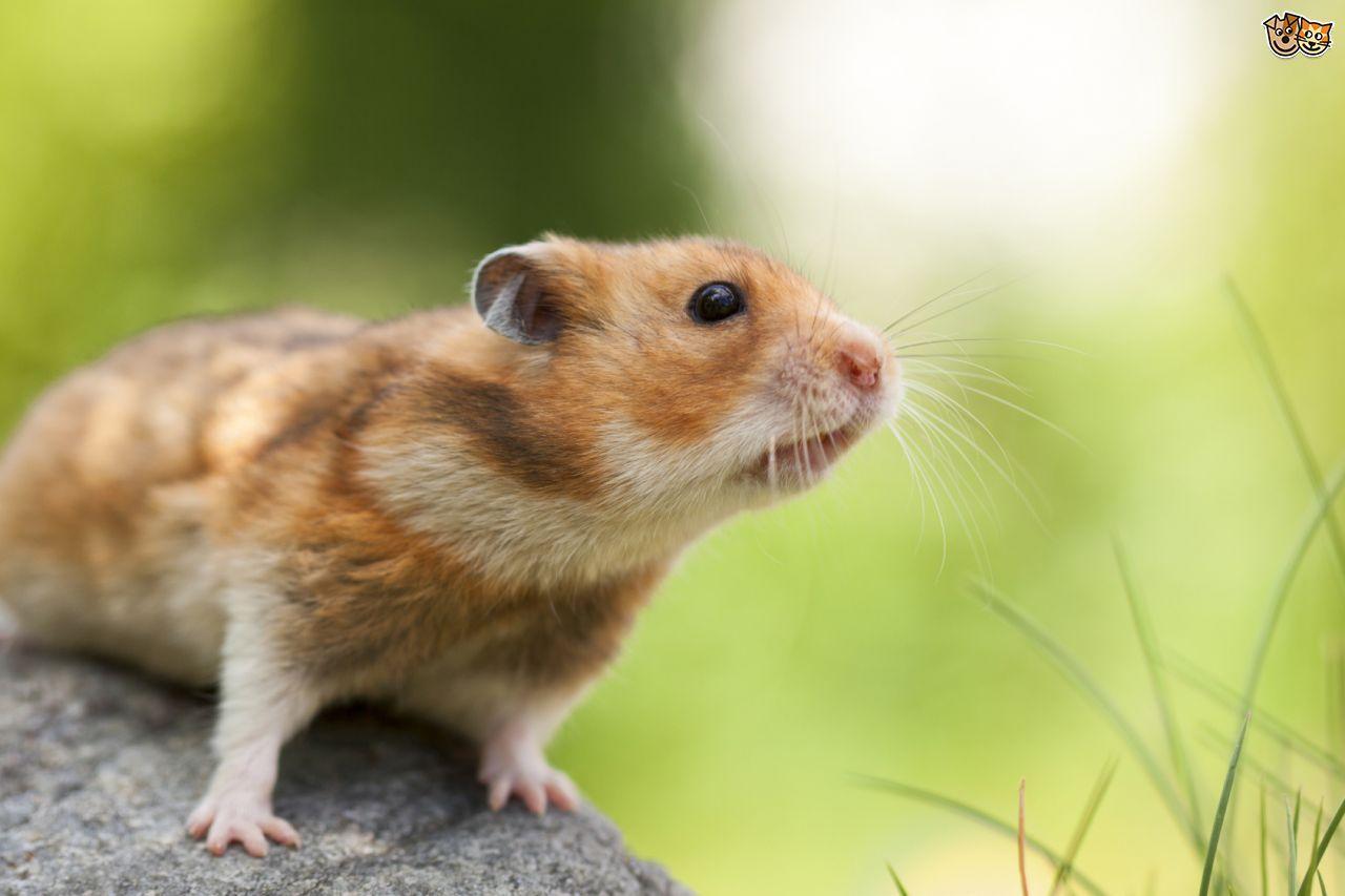 All About Syrian Teddy Bear Hamster Syrian Hamster Hamster Bear Hamster