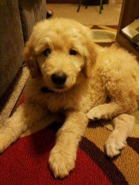 Goldendoodle Puppy For Sale In Bentonville Ar Adn 24357 On