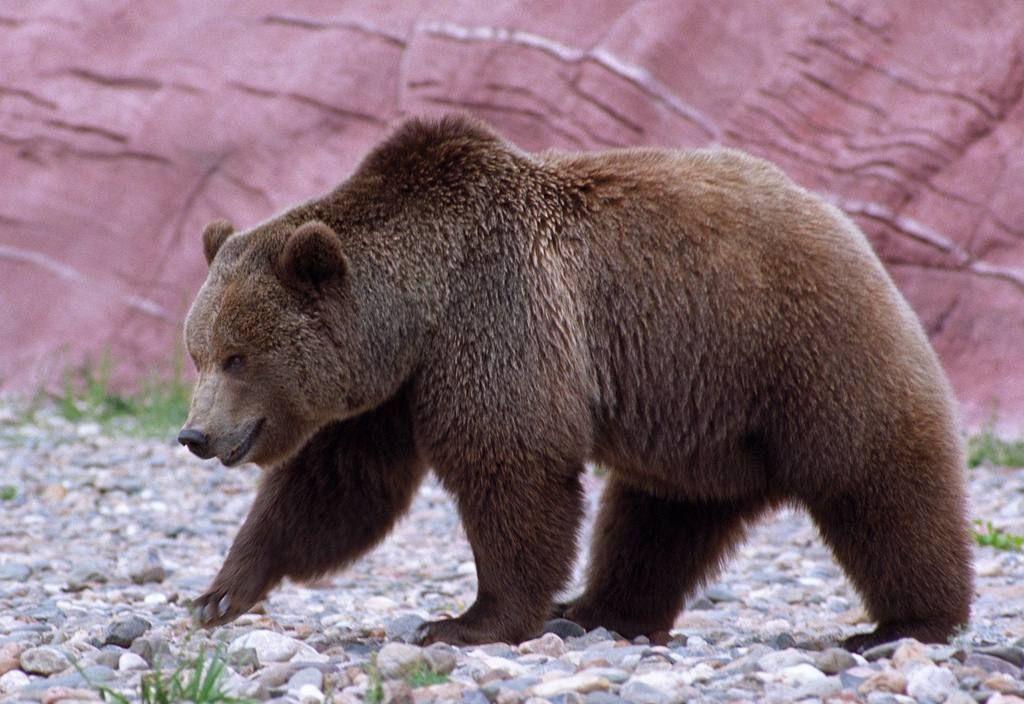Mammalsrus Com Fun Facts Grizzly Bear Bear Animals