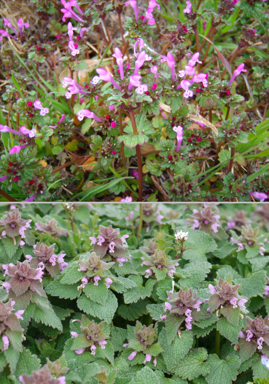 Henbit lamium amplexicaule top purple dead nettle