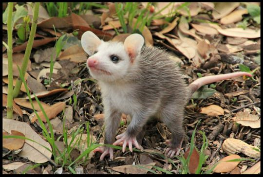 Young possum sniffing the air for danger