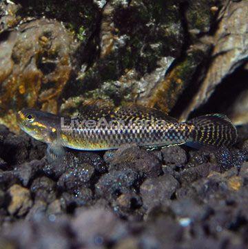 Neon Blue Goby Hillstream Tank Tropical Fish Tanks Tropical Fish Freshwater Aquarium