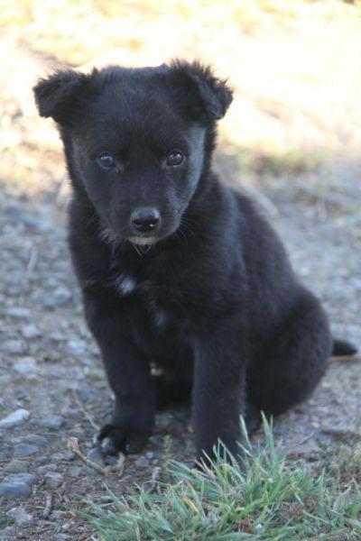 Misha 6 Weeks Border Collie Cross Kelpie Puppies Dogs Collie