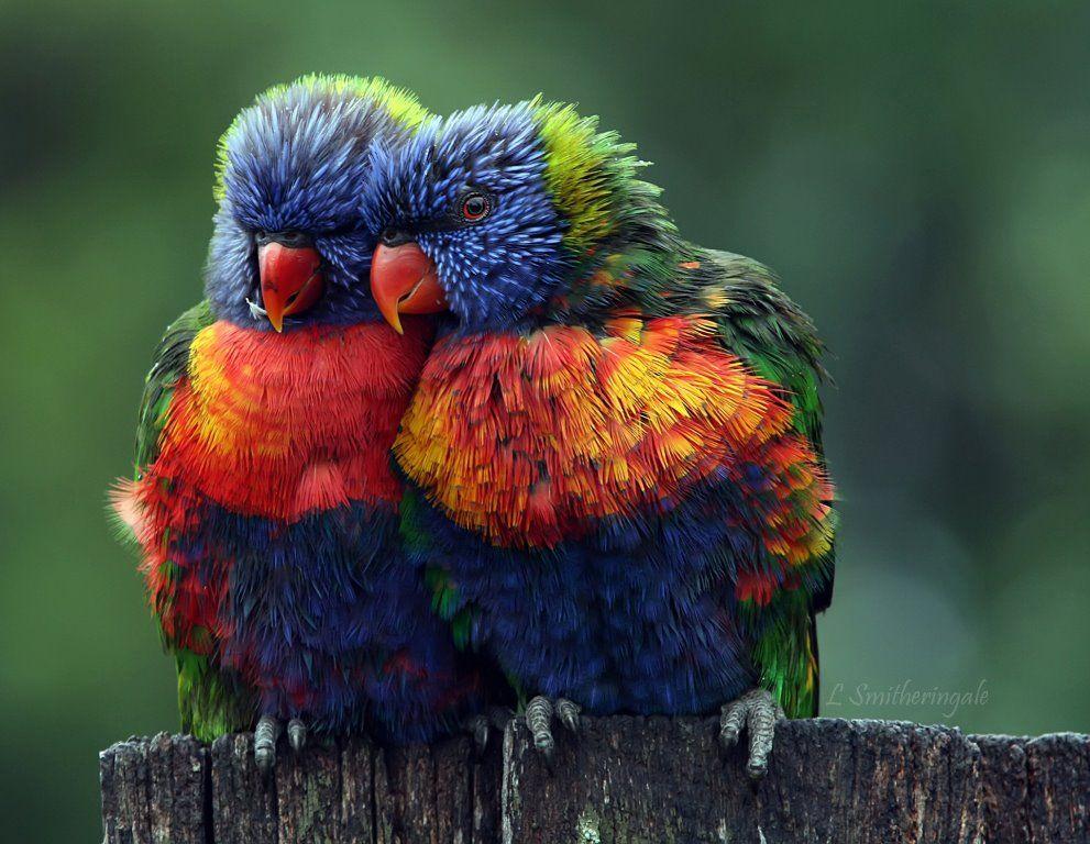 Parrots  #tobago