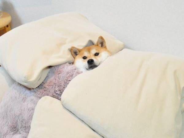 寝る犬!ベッドで眠る犬のかわいい姿。おやすみ犬! : ラ...