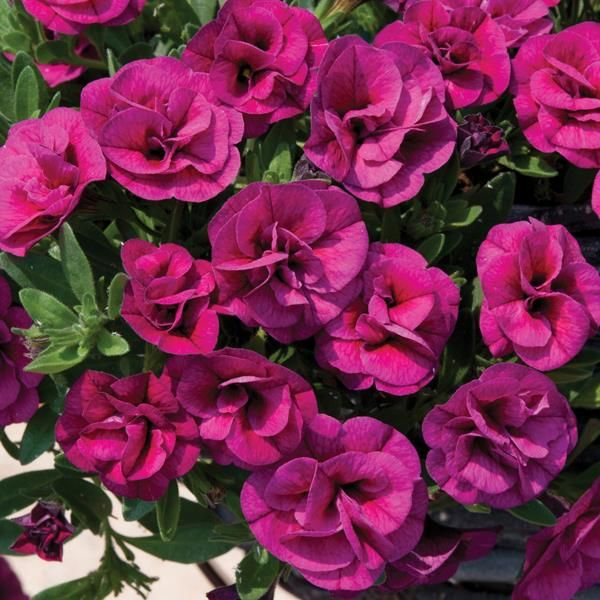 Calibrachoa Can Can Double Magenta Calibrachoa Plant Plants For