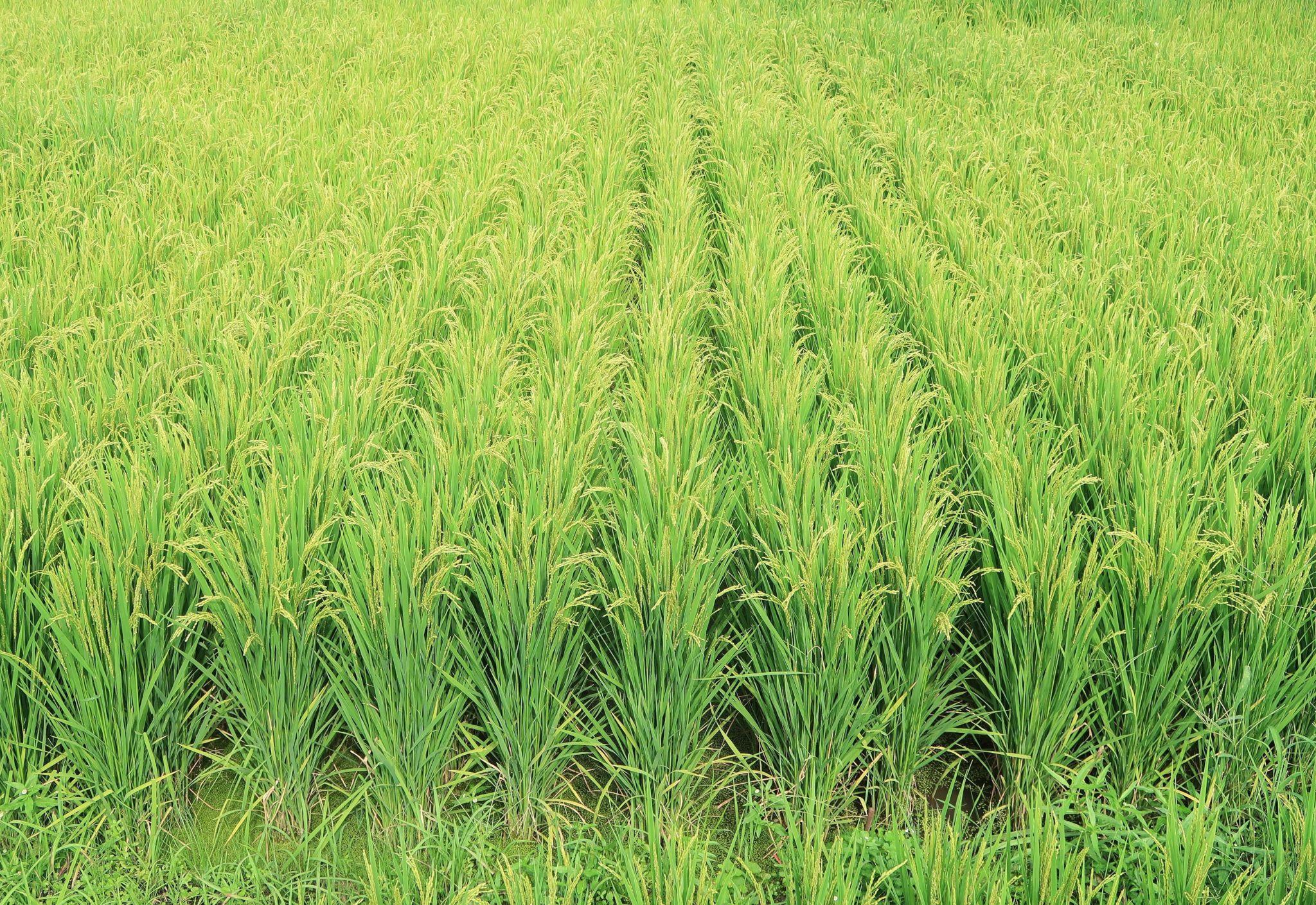 Rice crop monitoring using multirotor UAV and RGB digital
