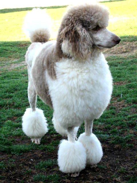 Pin On Love Poodles