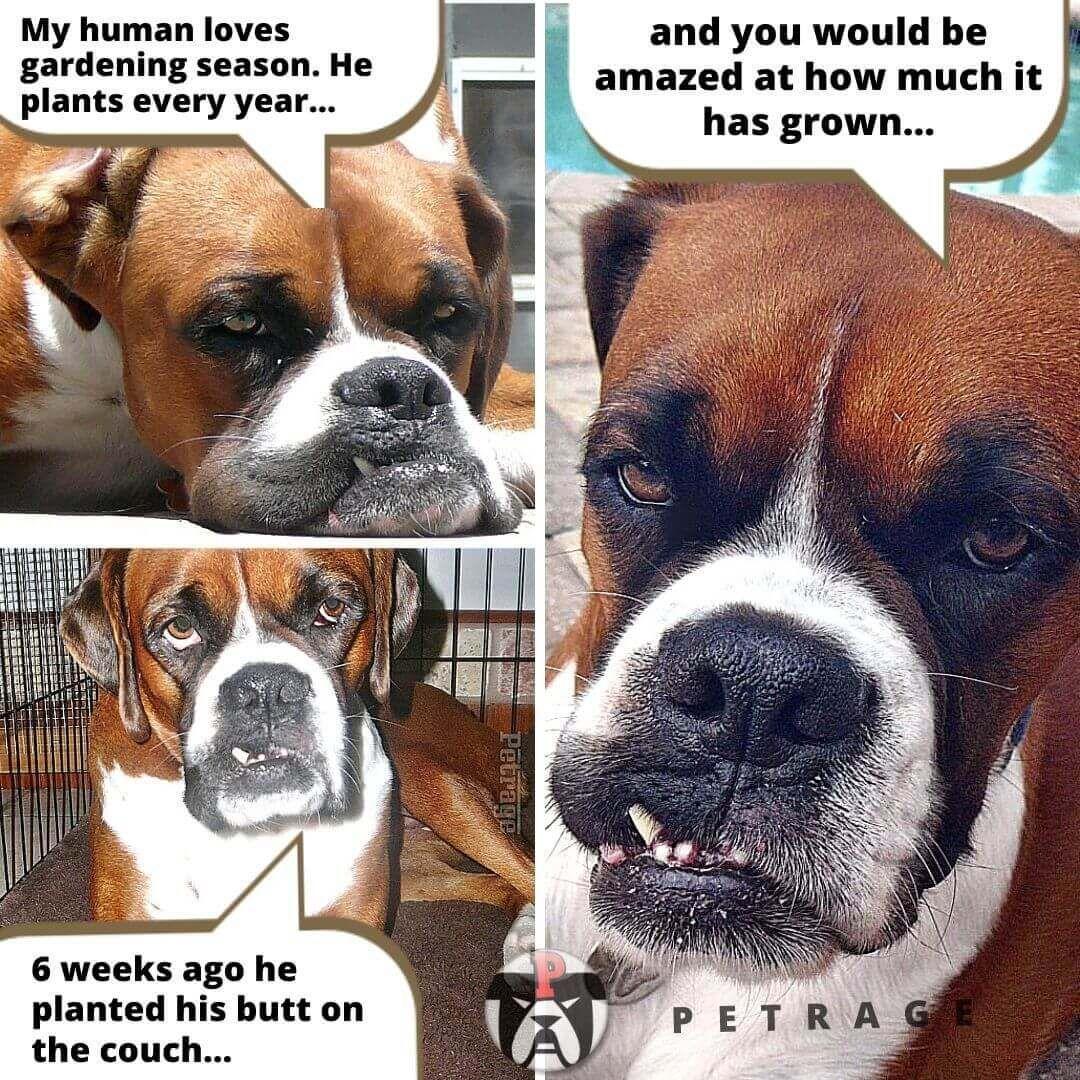 Sarcastic Boxer Dog Gardening Meme Boxer Dogs Animal Memes Memes