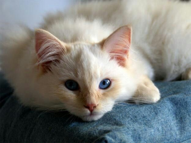 Ragdoll Cream And Sapphire Crazy Cats Ragdoll Cat Kittens