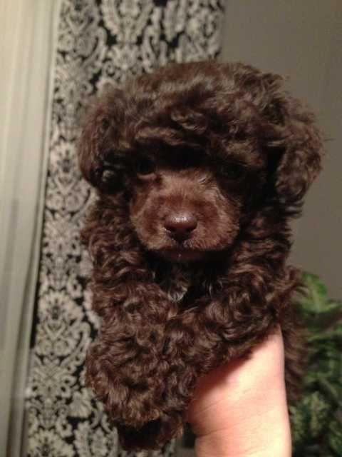 Tiny Toy Poodle Puppies