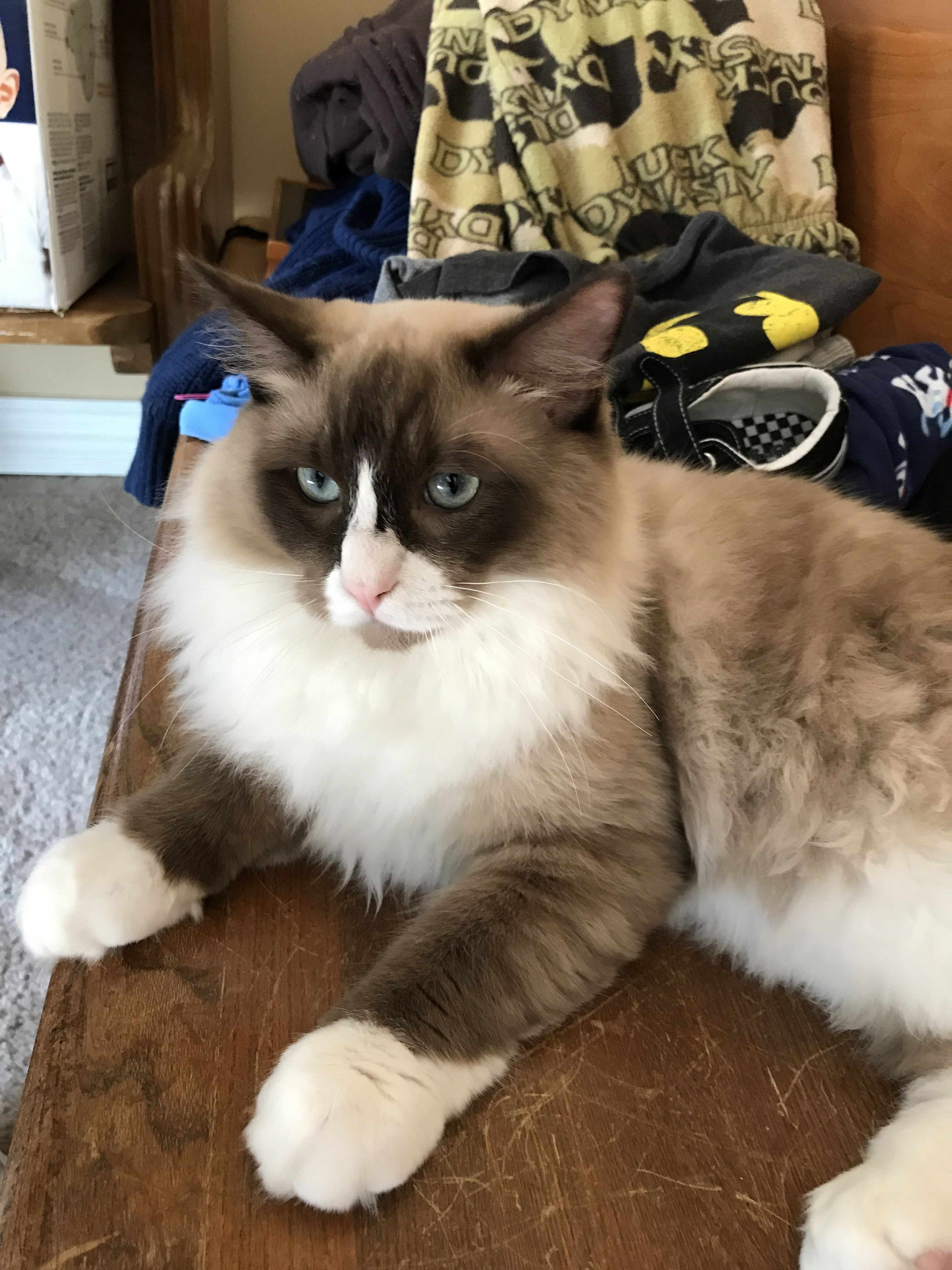 Ragdoll Cats For Sale Duncannon Pa Ragdoll Cats For Sale