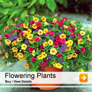 Nurserylive Provides Wide Range Of Natural Plants And Accessories Online In India We Delivers 6000 Nursery Seeds Bulbs Pebbles Pots Planters