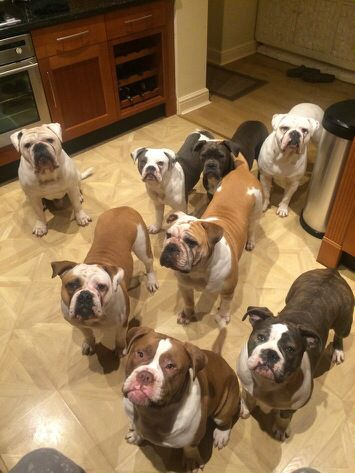 These Are My Beautiful Dorset Old Tyme Bulldogs American Bulldog Bully Dog Bulldog Breeds