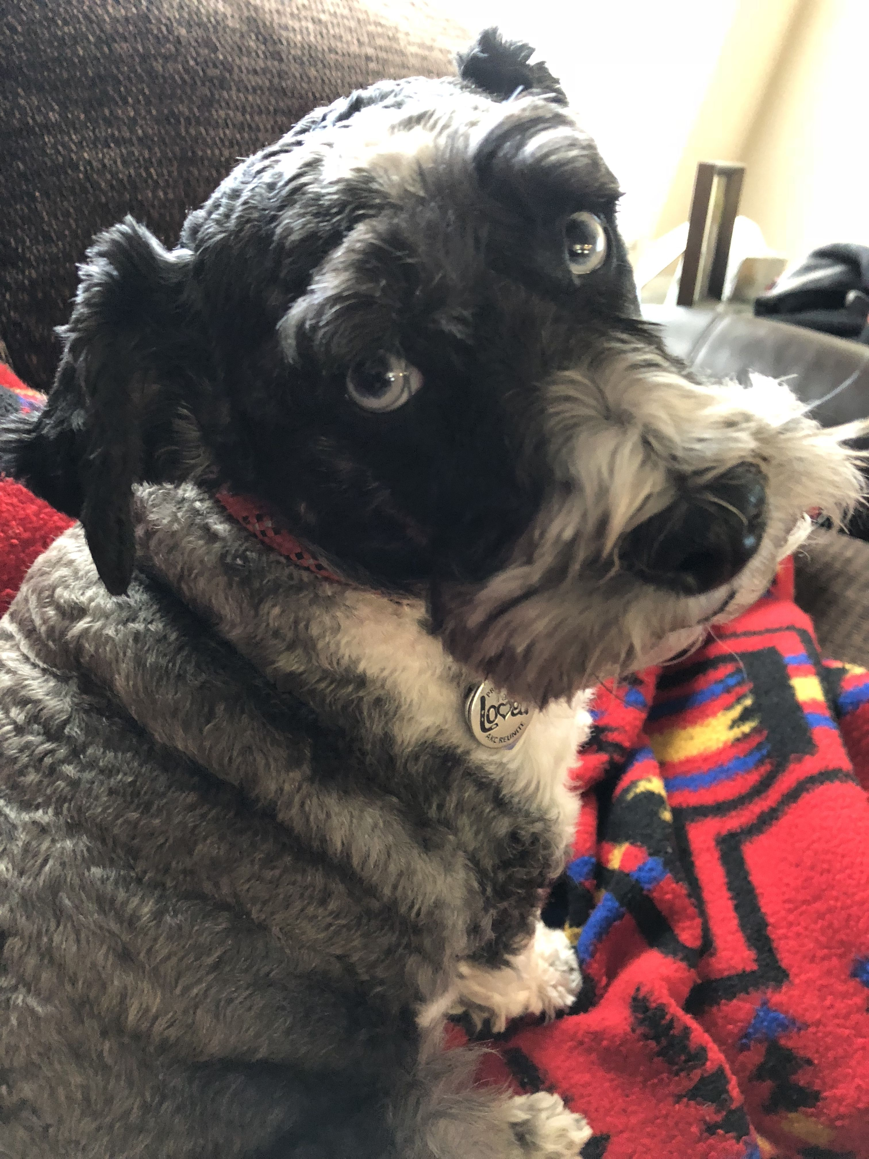 Pin by Michelle Clines on Schnauzers Pinterest Schnauzer Dogs