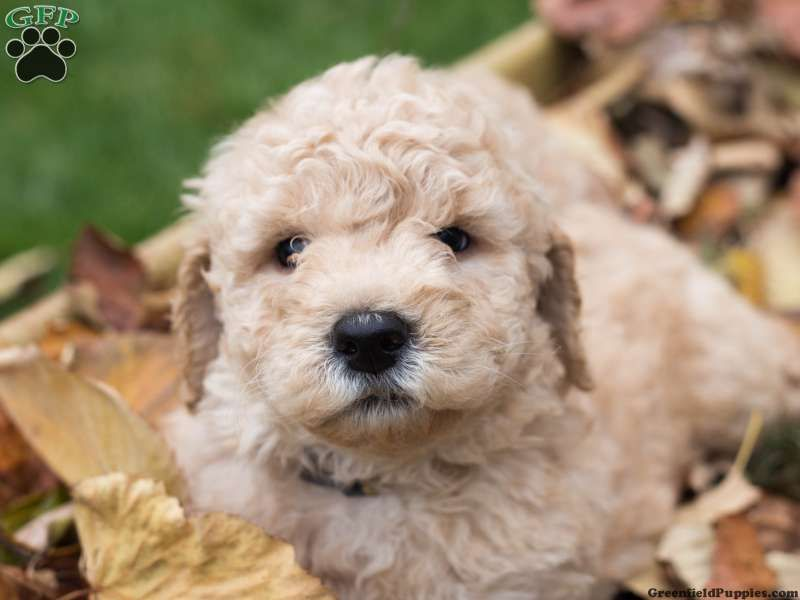 Brutus Miniature Goldendoodle Puppy For Sale In Lititz Pa Puppies For Sale Miniature Goldendoodle Puppies Goldendoodle Puppy