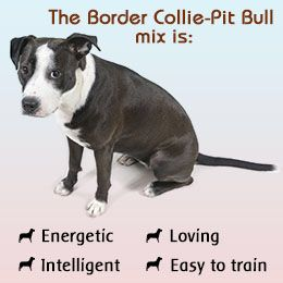 Border Collie Pit Bull Mix This Looks Like Our Last Rescue We