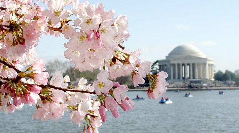Your Guide To Washington D C S Cherry Blossom Season Washington Dc Dc Travel Travel Usa