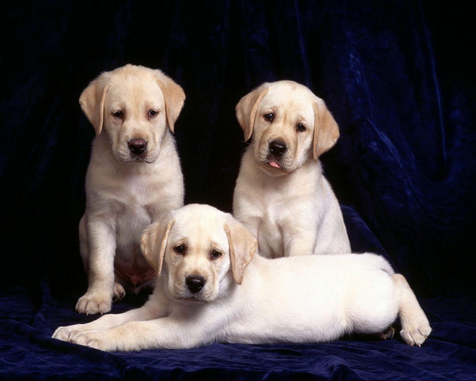 Dog Computer Wallpapers Desktop Backgrounds 1580x1264 Id 49359 Labrador Retriever Dog Adoption Dogs