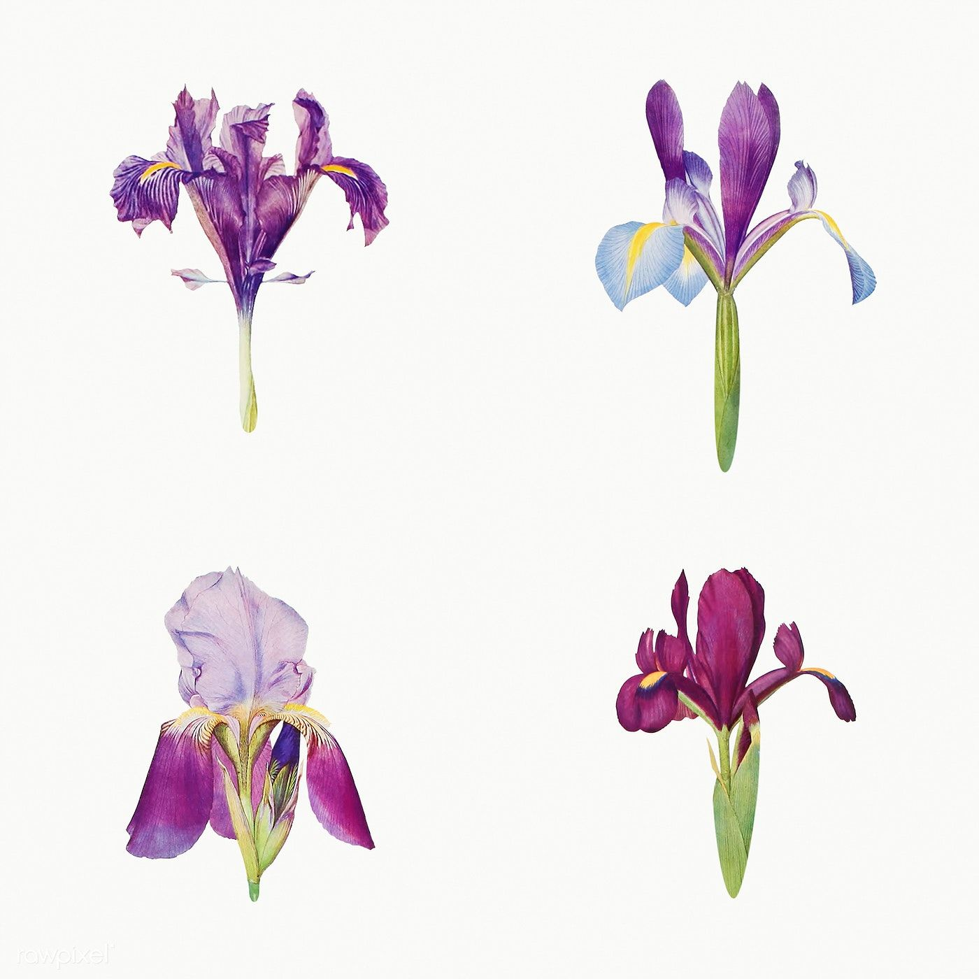 Download Premium Illustration Of Vintage Iris Flower Illustration In 2020 Flower Illustration Iris Flowers Flower Drawing