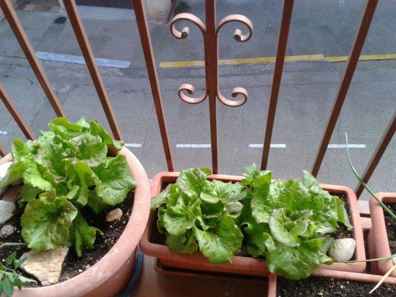 Macetas y jardineras para cultivar las lechugas en el - Macetas para balcon ...