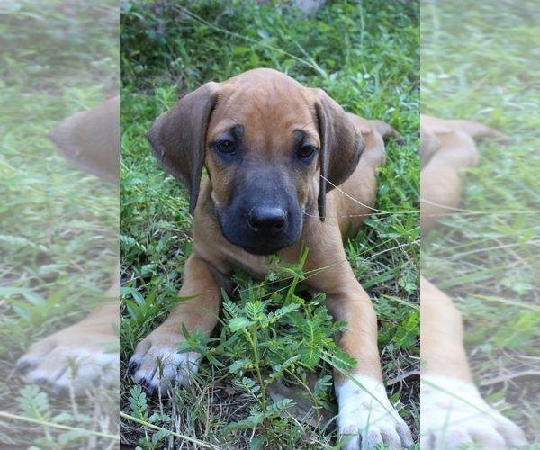 Litter Of 8 Rhodesian Ridgeback Puppies For Sale In Willis Tx