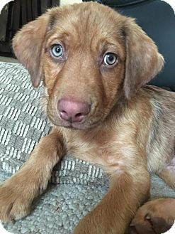 Danbury Ct Labrador Retriever Mix Meet Heath A Puppy For Adoption Http Www Adoptapet Com Pet 15015803 Labrador Retriever Puppy Adoption Kitten Adoption