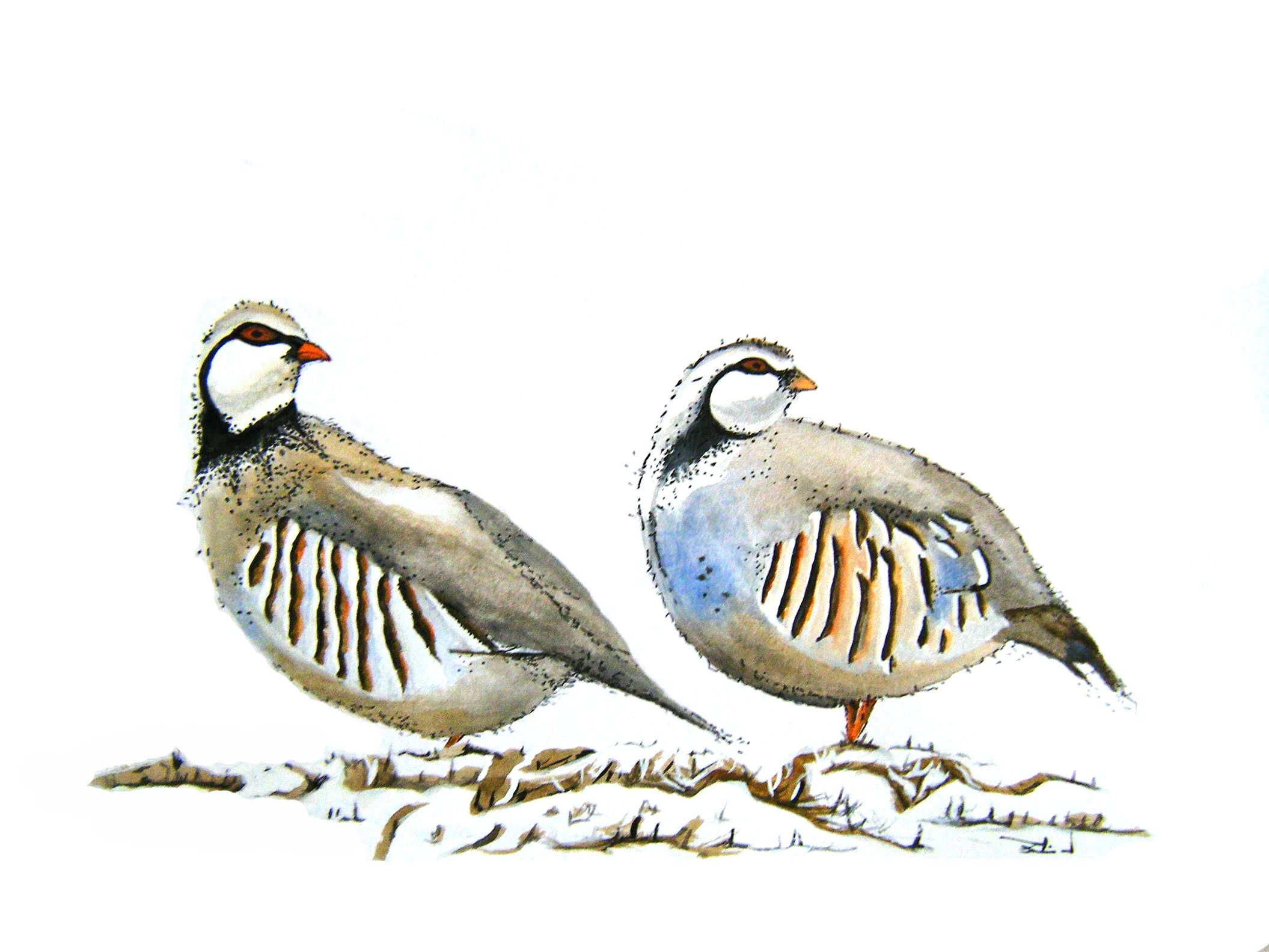 Best Pair Of Partridges Birds Animals Drawings 400 x 300