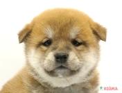 柴犬の子犬たち ペットショップのコジマ ペットショップ 柴犬 犬