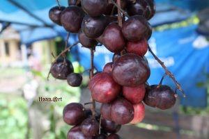 beberapa buah yang ada di banua kalimantan selatan buah