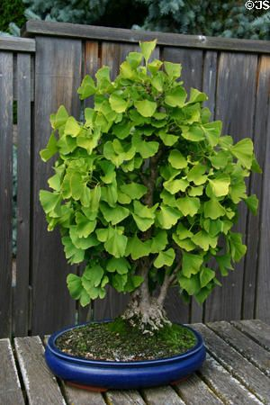 Gingko Bonsai Bonsai Plants Bonsai Tree