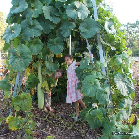 The Incredible Edible Vine   Cucuzzi