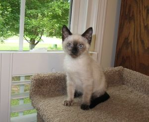 I Found Scarlet On Petfinder Seal Point Siamese Siamese Cats Siamese Kittens